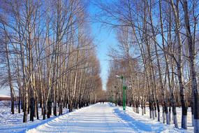 市郊雪原杨树林