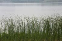 水边的青草