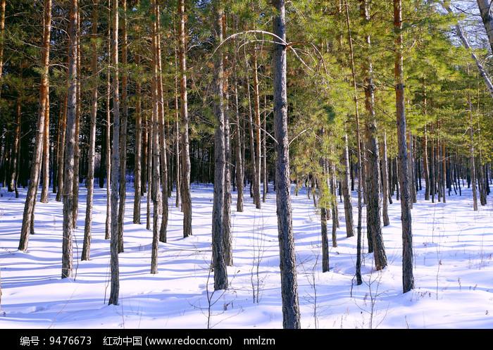 松林雪景图片