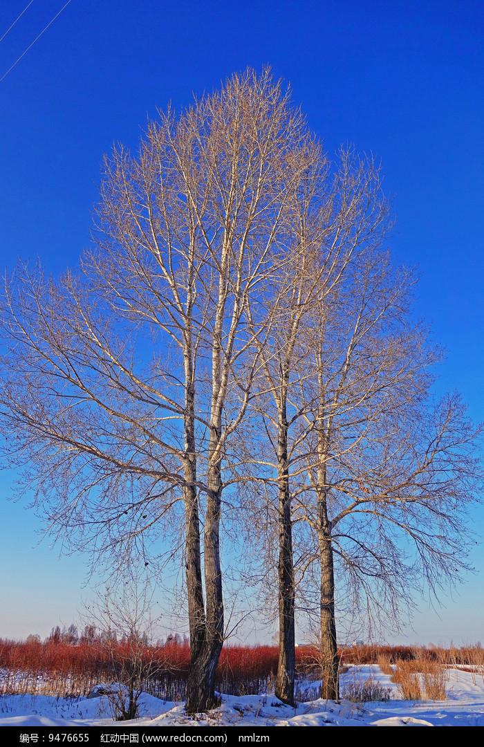 雪原杨树 图片