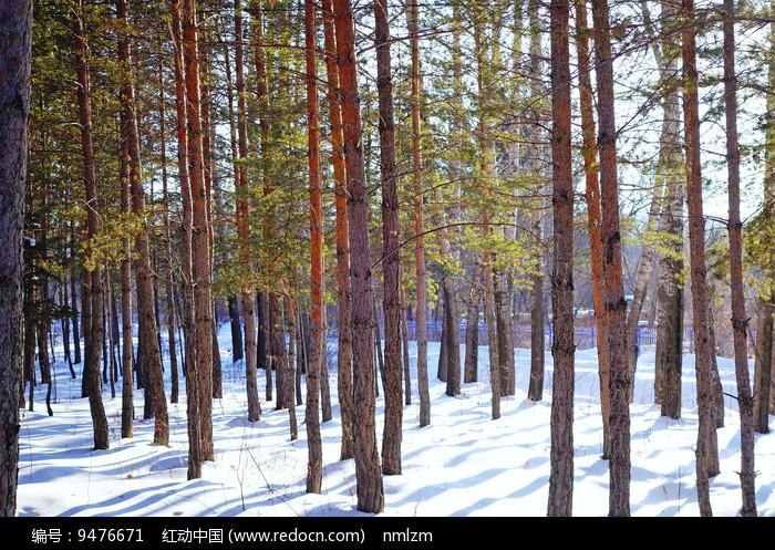 雪原樟子松松林图片