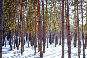 雪原樟子松松林