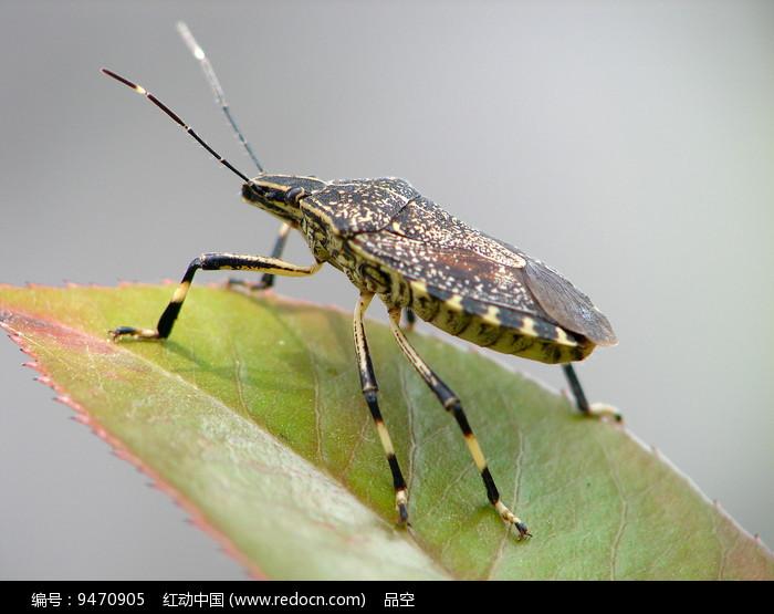 一只趴在树叶上的麻皮蝽图片