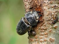 树上的一只巨锯陶锹甲