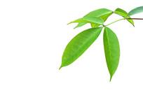 树叶素材抠图白底