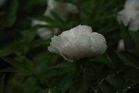 白色的牡丹花