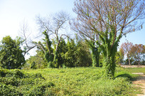 被绿色藤包裹着的树木