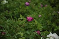 红粉色的牡丹花花蕾