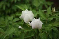 两朵白色的牡丹花