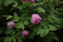 雨后粉色的牡丹花