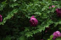 雨中的牡丹花