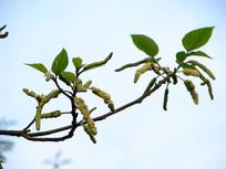 蓝天下的构树花序和枝叶
