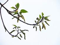 桑科植物构树