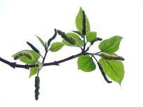 药用植物构树