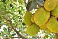 长在树上的菠萝蜜