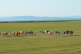 牧场牧归的牛群