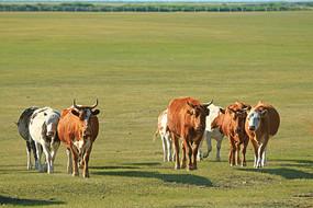 牧场牧归的三河牛