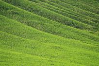 山坡绿色牧场植被丰茂