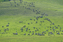 山坡牧场草甸上的羊群