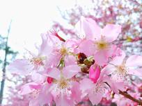 樱花紅粉佳人