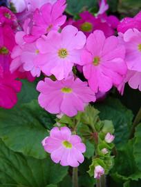 美丽的四季樱草花朵