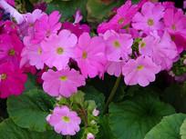 漂亮的四季樱草花朵