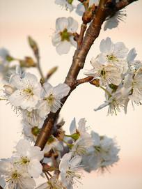 暖调樱桃花