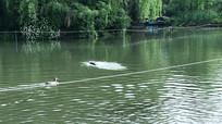 畅游的鸭子