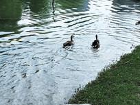 双双离去的鸭子