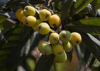 枇杷树结满密密麻麻的果实