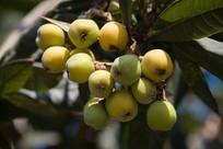 枇杷树上生长的果实