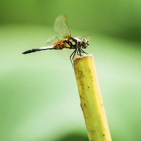 蜻蜓特写图片素材