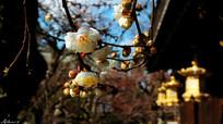 观赏樱花树