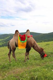 草坡上吃草的骆驼