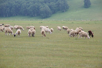 草原绵羊群