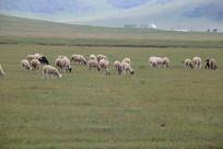 绵羊群吃草