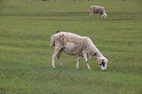 正在吃草的绵羊