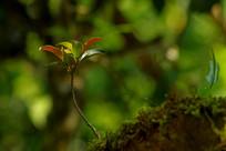 古茶树干上的新枝嫩芽近影