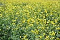 开满金色的油菜花田野