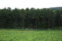 森林旁的菜园