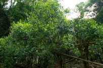 森林中的茶树