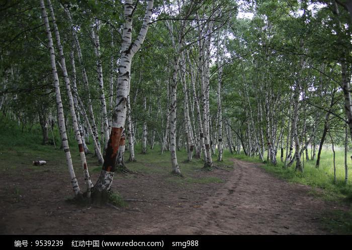 白桦树林小路图片