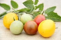 彩色西红柿