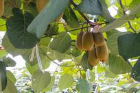 瓜果猕猴桃