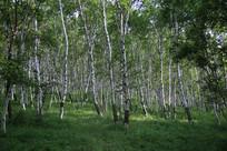 茂密的白桦树林
