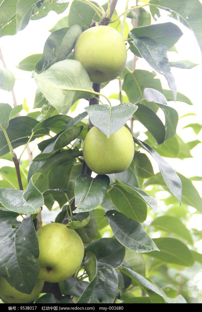 原创摄影图 动物植物 农作物 苹果挂果