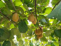 硕果猕猴桃