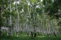 乌兰布统白桦树林