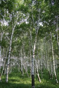 乌兰布统的白桦树林