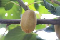 一颗猕猴桃